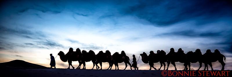 Camel Caravan in the Gobi Desert