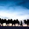 Camel Caravan in the Gobi Desert