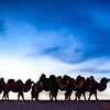Camels win the Gobi Desert