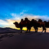 Camels in the Gobi at sunset