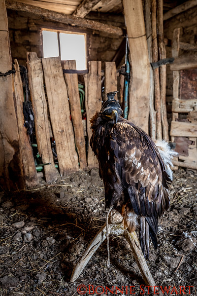 Home for Mr. Ardak's Eagle