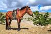 A Mongolian Horse
