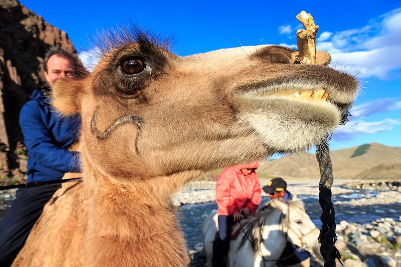 A camel with some serious attitude!