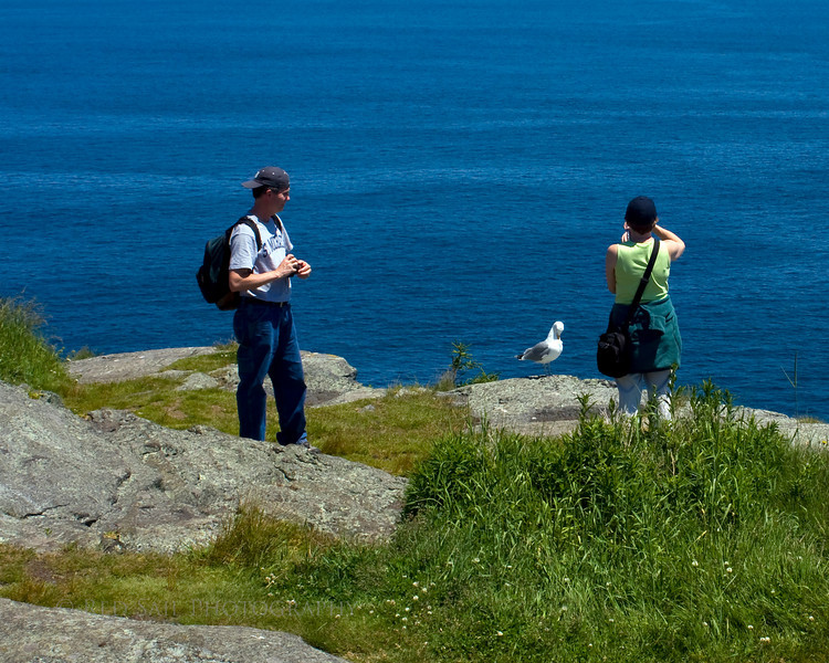 Local seagull poses during a photo shoot at White Head on Monhegan Island, Maine.