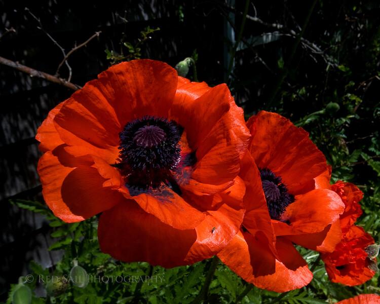 Monhegan Island Poppies.