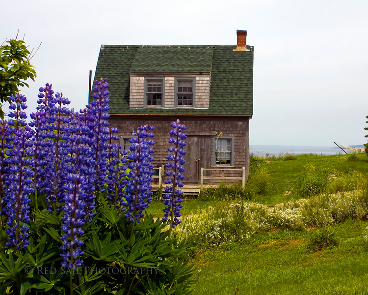 Purple Lubine with cottage in the background.