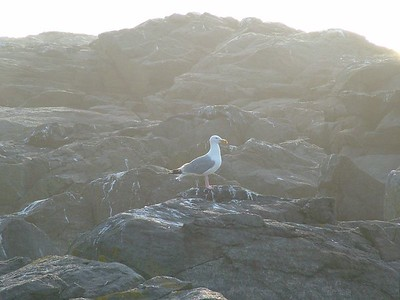 Gull early in the morning