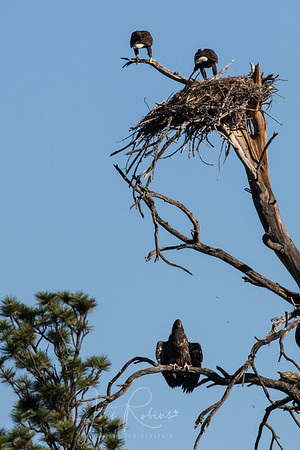 But the logistics of getting back to the nest can be difficult.