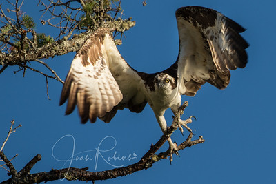 OSPREY taking off . . . adult male.