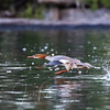Merganser literally racing across the water . . .
