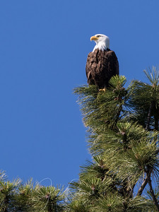 Eagle near our house still fishing