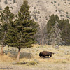 """A Tale: Two Trees And A Bull""<br /> Yellowstone National Park"