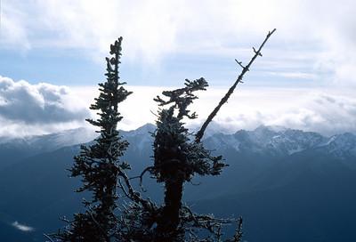 Hurricane Ridge Treetops