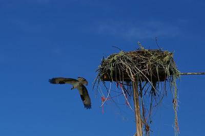 An Osprey nest just north of Missoula, Montana