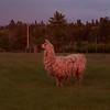 Michael, the llama.