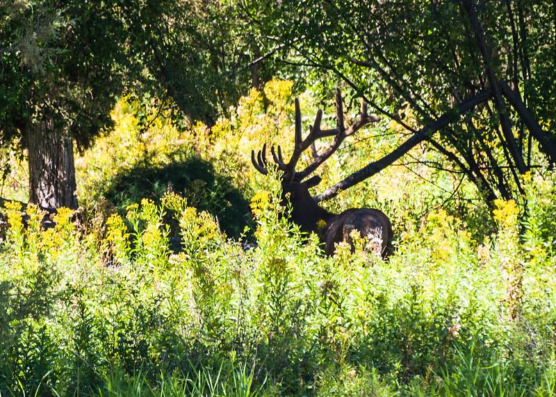 Big elk hiding in the shade