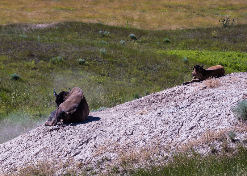 Bison calf learning to wallow in the dust