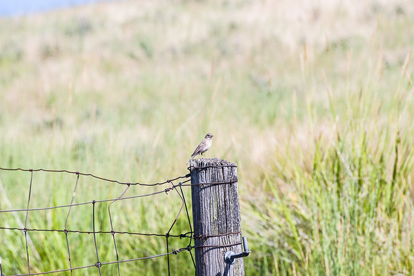 Misc. songbird on a fencepost