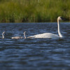 "Trumpeter Swan and Cygnets Trumpeter Swan, Red Rock Lakes National WildLife Refuge <a href=""http://wklein.smugmug.com/Travel/Montana-Red-Rock-Lake-NWR-Elk"">http://wklein.smugmug.com/Travel/Montana-Red-Rock-Lake-NWR-Elk</a>"