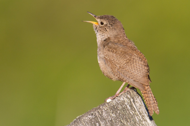 "House Wren, Red Rock Lakes National WildLife Refuge <a href=""http://wklein.smugmug.com/Travel/Montana-Red-Rock-Lake-NWR-Elk"">http://wklein.smugmug.com/Travel/Montana-Red-Rock-Lake-NWR-Elk</a>"