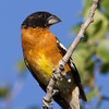 "Grosbeak <a href=""http://wklein.smugmug.com/Travel/Montana-Red-Rock-Lake-NWR-Elk"">http://wklein.smugmug.com/Travel/Montana-Red-Rock-Lake-NWR-Elk</a>"
