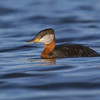 "Red-necked Grebe <a href=""http://wklein.smugmug.com/Travel/Montana-Red-Rock-Lake-NWR-Elk"">http://wklein.smugmug.com/Travel/Montana-Red-Rock-Lake-NWR-Elk</a>"