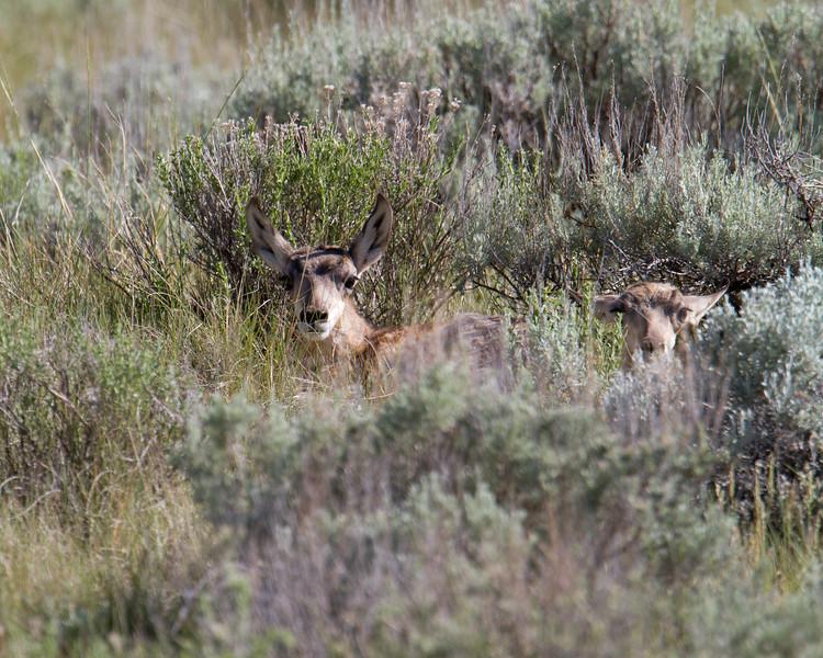 "Pronghorn young, Red Rock Lakes National WildLife Refuge <a href=""http://wklein.smugmug.com/Travel/Montana-Red-Rock-Lake-NWR-Elk"">http://wklein.smugmug.com/Travel/Montana-Red-Rock-Lake-NWR-Elk</a>"