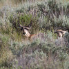 "Pronghorn young, Red Rock Lakes National WildLife Refuge <a href=""http://wklein.smugmug.com/Travel/Montana-Red-Rock-Lake-NWR-Elk"">http://wklein.smugmug.com/Travel/Montana-Red-Rock-Lake-NWR-Elk</a>"