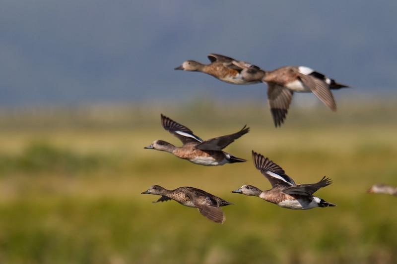 "Wigeon and Gadwall in flight <a href=""http://wklein.smugmug.com/Travel/Montana-Red-Rock-Lake-NWR-Elk"">http://wklein.smugmug.com/Travel/Montana-Red-Rock-Lake-NWR-Elk</a>"