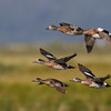 "Wigeon and Gadwall in flight <a href=""http://wklein.smugmug.com/Travel/Montana-Red-Rock-Lake-NWR-Elk"">http://wklein.smugmug.com/Travel/Montana-Red-Rock-Lake-NWR-Elk</a>"