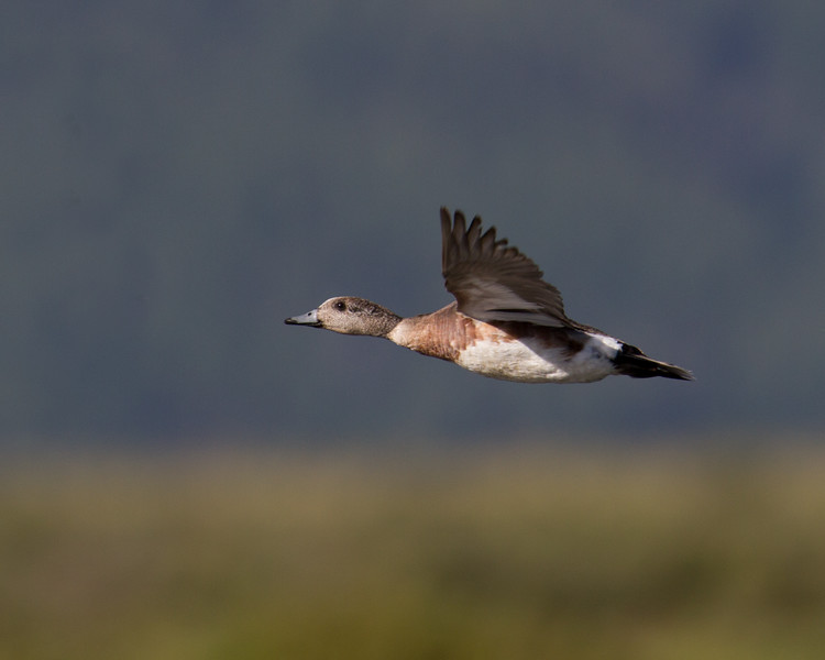 "Wigeon <a href=""http://wklein.smugmug.com/Travel/Montana-Red-Rock-Lake-NWR-Elk"">http://wklein.smugmug.com/Travel/Montana-Red-Rock-Lake-NWR-Elk</a>"