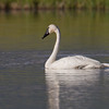 "Trumpeter Swan Trumpeter Swan, Red Rock Lakes National WildLife Refuge <a href=""http://wklein.smugmug.com/Travel/Montana-Red-Rock-Lake-NWR-Elk"">http://wklein.smugmug.com/Travel/Montana-Red-Rock-Lake-NWR-Elk</a>"