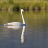 "Trumpeter Swan <a href=""http://wklein.smugmug.com/Travel/Montana-Red-Rock-Lake-NWR-Elk"">http://wklein.smugmug.com/Travel/Montana-Red-Rock-Lake-NWR-Elk</a>"