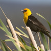 "Yellowhead Blackbird, Red Rock Lakes National WildLife Refuge <a href=""http://wklein.smugmug.com/Travel/Montana-Red-Rock-Lake-NWR-Elk"">http://wklein.smugmug.com/Travel/Montana-Red-Rock-Lake-NWR-Elk</a>"