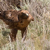 "Morph Retail Hawk <a href=""http://wklein.smugmug.com/Travel/Montana-Red-Rock-Lake-NWR-Elk"">http://wklein.smugmug.com/Travel/Montana-Red-Rock-Lake-NWR-Elk</a>"