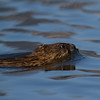 "Muskrat <a href=""http://wklein.smugmug.com/Travel/Montana-Red-Rock-Lake-NWR-Elk"">http://wklein.smugmug.com/Travel/Montana-Red-Rock-Lake-NWR-Elk</a>"