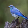 "Mountain Bluebird <a href=""http://wklein.smugmug.com/Travel/Montana-Red-Rock-Lake-NWR-Elk"">http://wklein.smugmug.com/Travel/Montana-Red-Rock-Lake-NWR-Elk</a>"