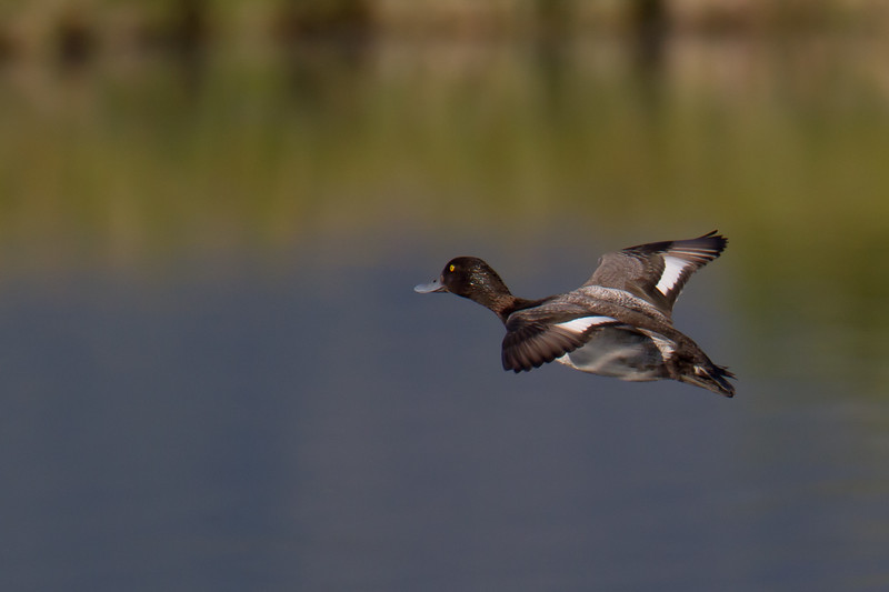 "Scaup in flight, Red Rock Lakes National WildLife Refuge <a href=""http://wklein.smugmug.com/Travel/Montana-Red-Rock-Lake-NWR-Elk"">http://wklein.smugmug.com/Travel/Montana-Red-Rock-Lake-NWR-Elk</a>"