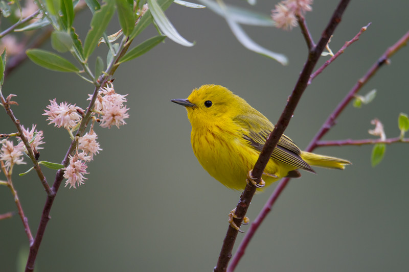 "Yellow Warbler, Red Rock Lakes National WildLife Refuge <a href=""http://wklein.smugmug.com/Travel/Montana-Red-Rock-Lake-NWR-Elk"">http://wklein.smugmug.com/Travel/Montana-Red-Rock-Lake-NWR-Elk</a>"