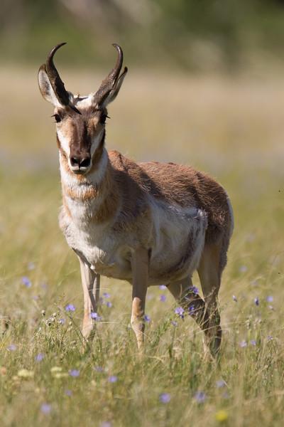 "Pronghorn <a href=""http://wklein.smugmug.com/Travel/Montana-Red-Rock-Lake-NWR-Elk"">http://wklein.smugmug.com/Travel/Montana-Red-Rock-Lake-NWR-Elk</a>"