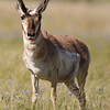 "Pronghorn <a href=""http://wklein.smugmug.com/Travel/Montana-Red-Rock-Lake-NWR-Elk"">http://wklein.smugmug.com/Travel/Montana-Red-Rock-Lake-NWR-Elk</a>"