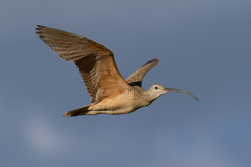 "Curlew, Red Rock Lakes National WildLife Refuge <a href=""http://wklein.smugmug.com/Travel/Montana-Red-Rock-Lake-NWR-Elk"">http://wklein.smugmug.com/Travel/Montana-Red-Rock-Lake-NWR-Elk</a>"