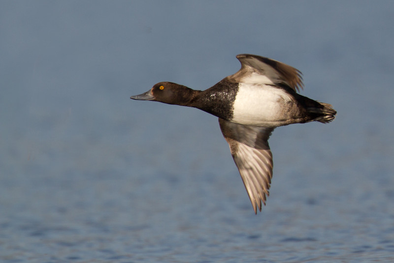 "Scaup in flight <a href=""http://wklein.smugmug.com/Travel/Montana-Red-Rock-Lake-NWR-Elk"">http://wklein.smugmug.com/Travel/Montana-Red-Rock-Lake-NWR-Elk</a>"