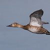 "Canvasback, Duck with Damsel fly riding on head <a href=""http://wklein.smugmug.com/Travel/Montana-Red-Rock-Lake-NWR-Elk"">http://wklein.smugmug.com/Travel/Montana-Red-Rock-Lake-NWR-Elk</a> <a href=""http://wklein.smugmug.com/"">http://wklein.smugmug.com/</a>"