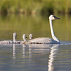 "Trumpeter Swan and Cygnets <a href=""http://wklein.smugmug.com/Travel/Montana-Red-Rock-Lake-NWR-Elk"">http://wklein.smugmug.com/Travel/Montana-Red-Rock-Lake-NWR-Elk</a>"