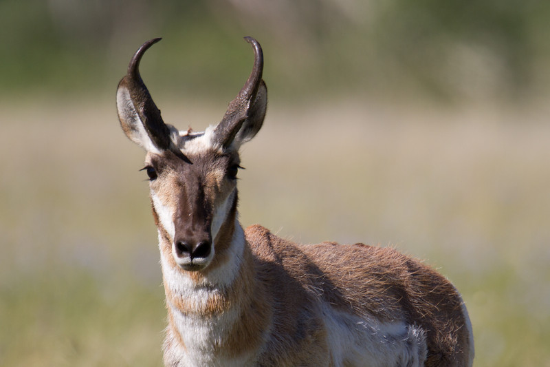 "Pronghorn, Red Rock Lakes National WildLife Refuge <a href=""http://wklein.smugmug.com/Travel/Montana-Red-Rock-Lake-NWR-Elk"">http://wklein.smugmug.com/Travel/Montana-Red-Rock-Lake-NWR-Elk</a>"