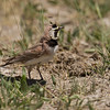 "Horned Lark, Red Rock Lakes National WildLife Refuge <a href=""http://wklein.smugmug.com/Travel/Montana-Red-Rock-Lake-NWR-Elk"">http://wklein.smugmug.com/Travel/Montana-Red-Rock-Lake-NWR-Elk</a>"