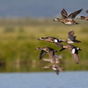 "Ducks in Flight (Wigeon and Gadwall), Red Rock Lakes National WildLife Refuge <a href=""http://wklein.smugmug.com/Travel/Montana-Red-Rock-Lake-NWR-Elk"">http://wklein.smugmug.com/Travel/Montana-Red-Rock-Lake-NWR-Elk</a>"