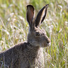 "Jack Rabbit, Red Rock Lakes National WildLife Refuge <a href=""http://wklein.smugmug.com/Travel/Montana-Red-Rock-Lake-NWR-Elk"">http://wklein.smugmug.com/Travel/Montana-Red-Rock-Lake-NWR-Elk</a>"