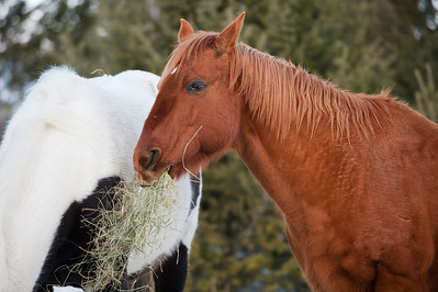 a brown horse feeds on hay at dinner time on this montana ranch.